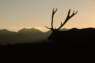 Elk Bull, Banff