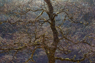 birch light