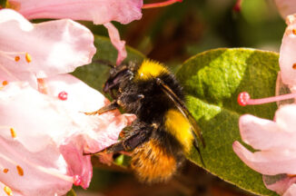 bee on rhododendron flower