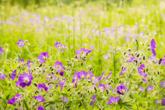 geranium, wildflower meadow, midsummer