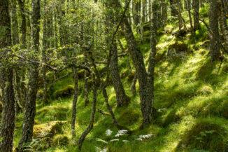 Sunlit silver birch