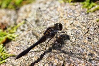 Dragonfly (Black darter) basking on rock, Craigellachie