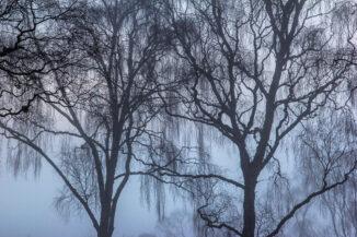 Birch tracery in mist