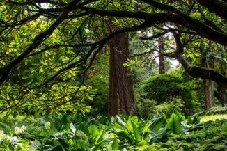 Giant Sequioa, Dawyck Botanic Garden, Scottish Borders