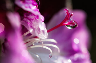Sparkling raindrops on geranium flower