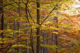 autmn beech, rothiemurchus, cairngorms national park