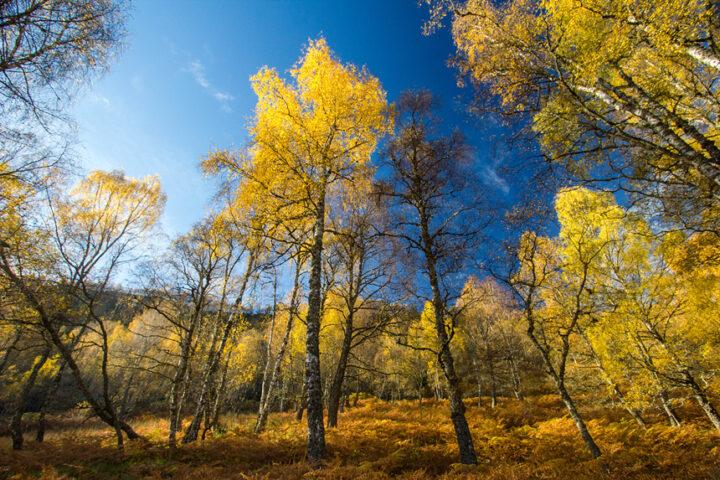 Autunm gold and blue sky, craigellachie, aviemore