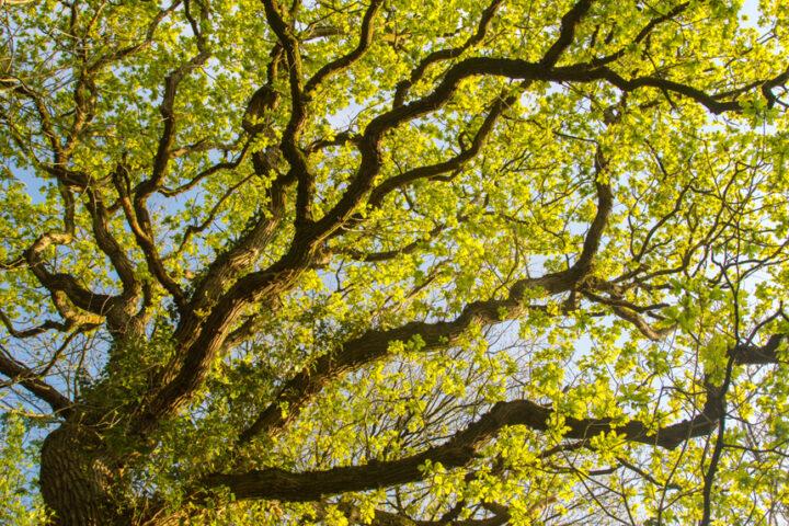 Oak tree catching golden evening light