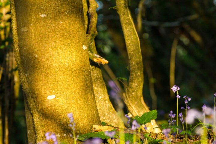 Sunset colour glowing on a beech tree, Dundon wood, Somerset
