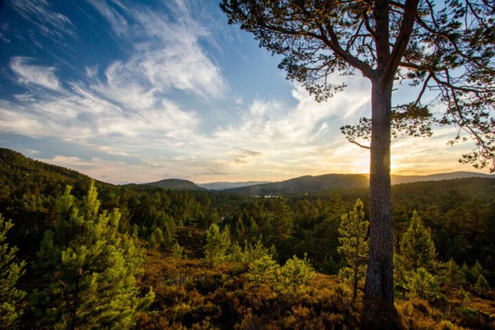 Sunset Pine, Rothiemurchus