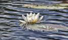 waterlilies, lochan mor, rothiemurchus, cairngorms national park, scotland