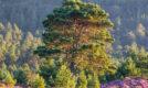 Scots Pine in heather bloom, rothiemurchus, Cairngorms National park, Scotland