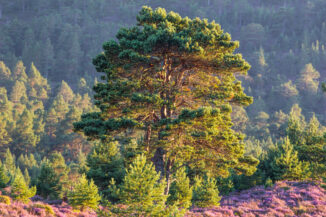 Scots Pine in heather bloom, rothiemurchus, Cairngorms National park, Scotland