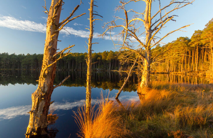 Loch Mallachie pines at the waters edge, Cairngorms National Park
