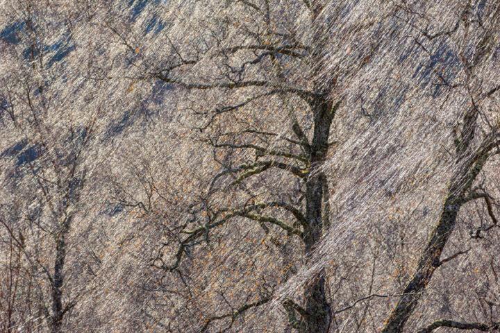 Birch tresses in winter light