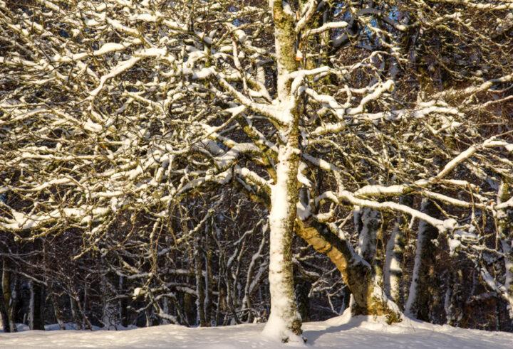Sun and snow on birch tree