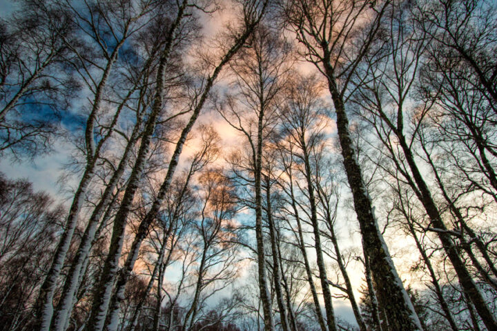 Sunset clouds in snowy birch trees