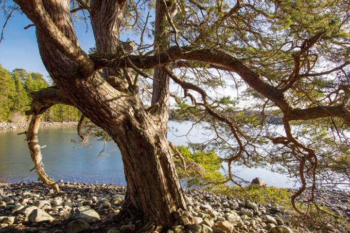 Pine Tree, Loch Vaa