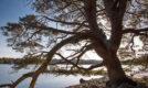 Pine Tree, Loch Vaa, Ice freeze, Cairngorms National Park
