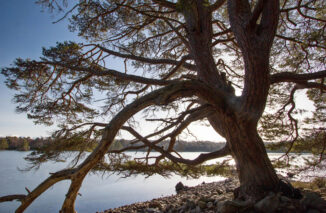 Pine Tree, Loch Vaa, Ice freeze, Cairngorms National Park