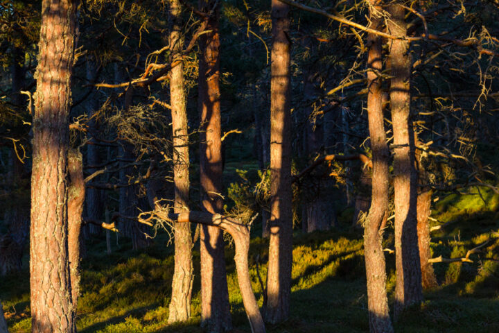 Light and shade in the pine forest, Rothiemurchus