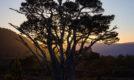 Sunset Pine, Glen Einich