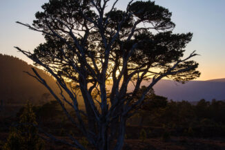 Sunset Pine, Glen Einich