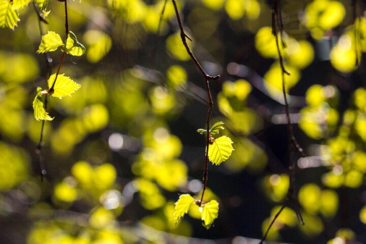 Birch leaves, Craigellachie NNR, Strathspey