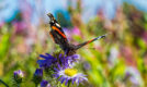 Red admiral butterfly on michaelmas daisies