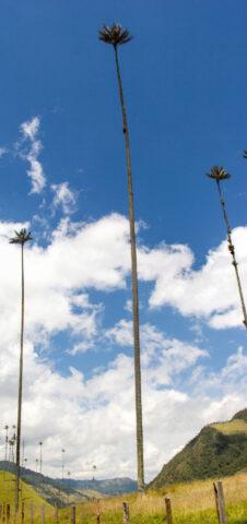 Wax Palm (Ceroxylon quindiuense),Cocora Valley, Colombia