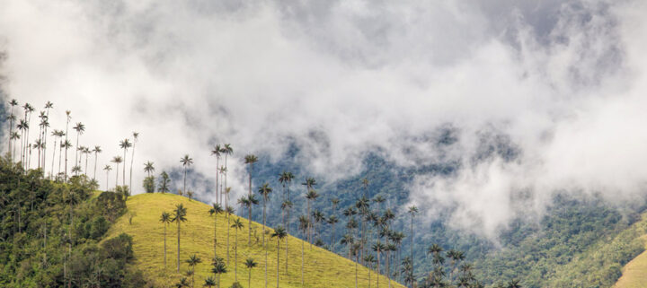 Wax palms, Cocora valley, after a shower