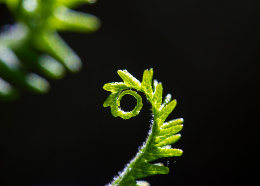Coiled fern unfolding