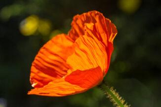 Midsummer poppy
